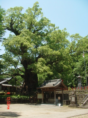 姶良市蒲生八幡神社の大楠