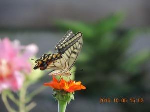 今年最後の蝶か
