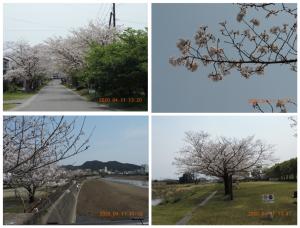 姶良市加治木町の桜