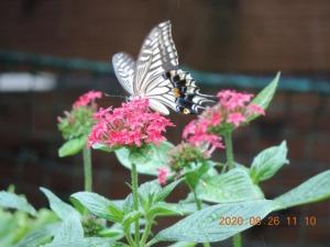 雨に打たれる蝶